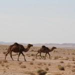Kamele in freier Wildbahn