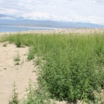 Hanfpflanzen soweit das Auge reicht- die kirgisische Brennnessel