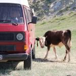 Kratzstoßstange für Kühe