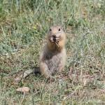Erdhörnchen auf Olchon