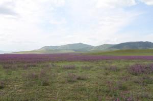 Mongolei- blühende Wiesen