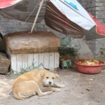Straßenhund in Pingyao