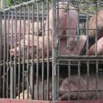 noch ein Schweinetransport :-(