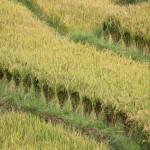 gebündelter Reis