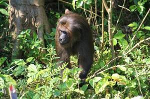der Boss der Affeninsel