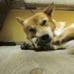 Camp Hund Foxi