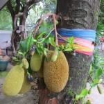 Jackfruitbaum