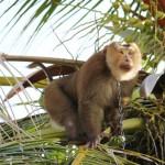 Kokosnussernte