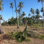 50 m neben uns ist eine Kokosnußpalme umgefallen